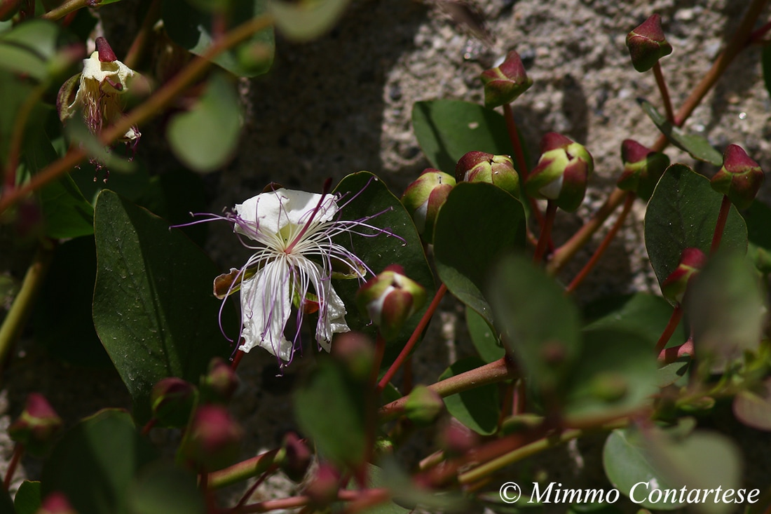 Cappero - Capparis spinosa L. 1753