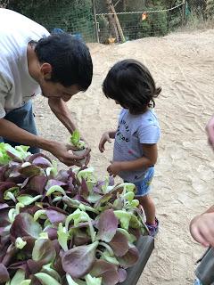Plantando una lechuga