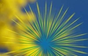 Stralende mimosa bloesem en logo Mimosa op een blauwe lucht: ontmoeten wordt ont-moeten.
