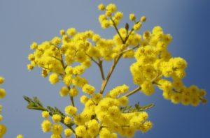 Stralende mimosa bloesem op een blauwe lucht.