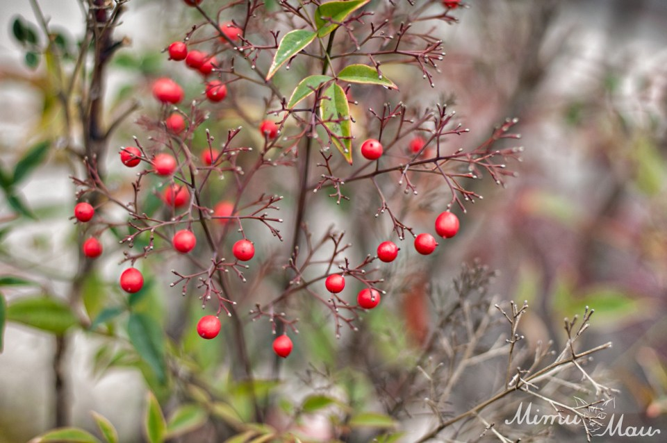 redberries2