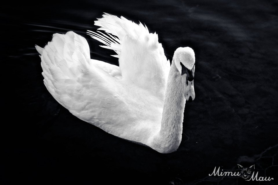swanny