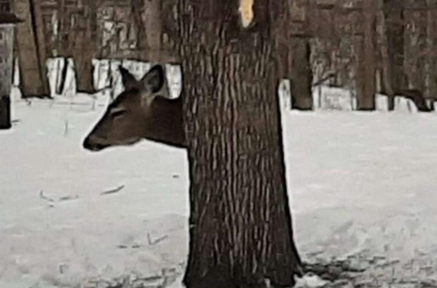 Este venado utiliza un truco para esconderse detrás de un árbol, y deja a todos desconcertados