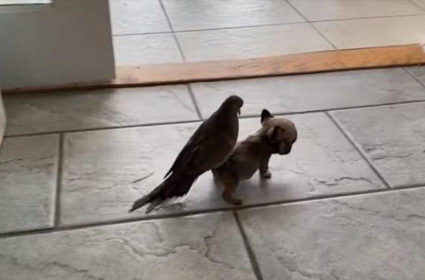 Amoroso cachorrito le gusta llevar a cuestas a su mejor amiga,una paloma