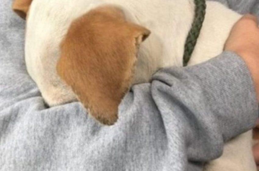 Perrito que fue rescatado, era usado como carnada en las peleas de perros.No dejaba de esconder su cabeza.