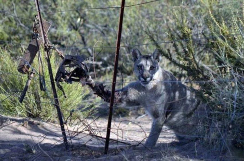 Hombre será penado por poner una leonera, donde una puma perdió una de sus extremidades
