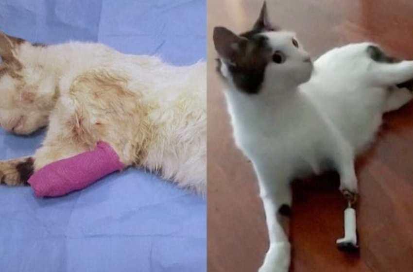 Gatito callejero sufrió un accidente automovilístico y  vuelve a caminar después de recibir su tercera prótesis
