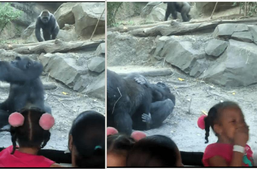 Una pareja de gorilas se ponen muy íntimos en un zoológico y los padres tapan los ojos de sus hijos