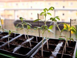 Tomatplantorna spirar för fullt