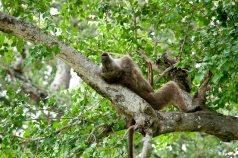 Ledarhannen chillar lite i sitt träd
