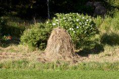 Vi gjorde en höstack av gräset jag trimmade