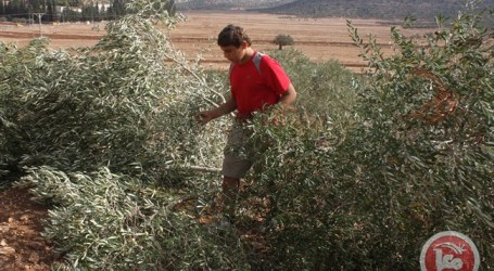 Pemukim Yahudi Kembali Rusak 700 Bibit Pohon Zaitun dan Pohon Almond