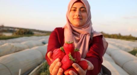 Harapan Tinggi Petani Palestina di Musim Panen Stroberi