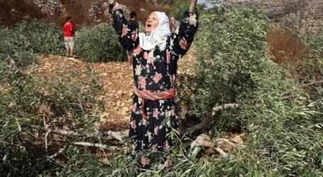 Petani Palestina Diserang dan Buah Zaitunya Dicuri Pemukim Ilegal Yahudi