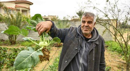 Pertama Kalinya Petani Gaza Sukses Tanam Kohlrabi