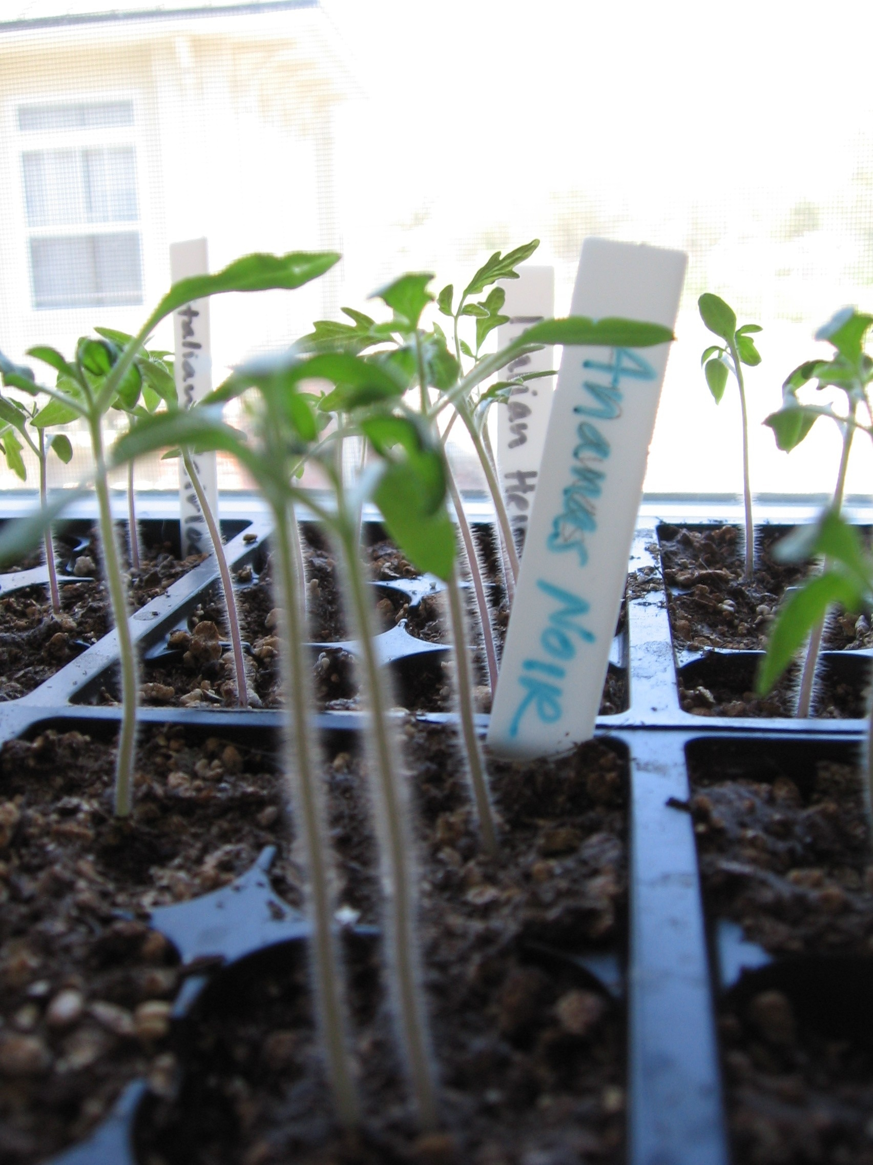 Sprouted Tomatoes