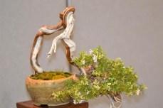 Gonzaga - mondo bonsai - foto di repertorio.3