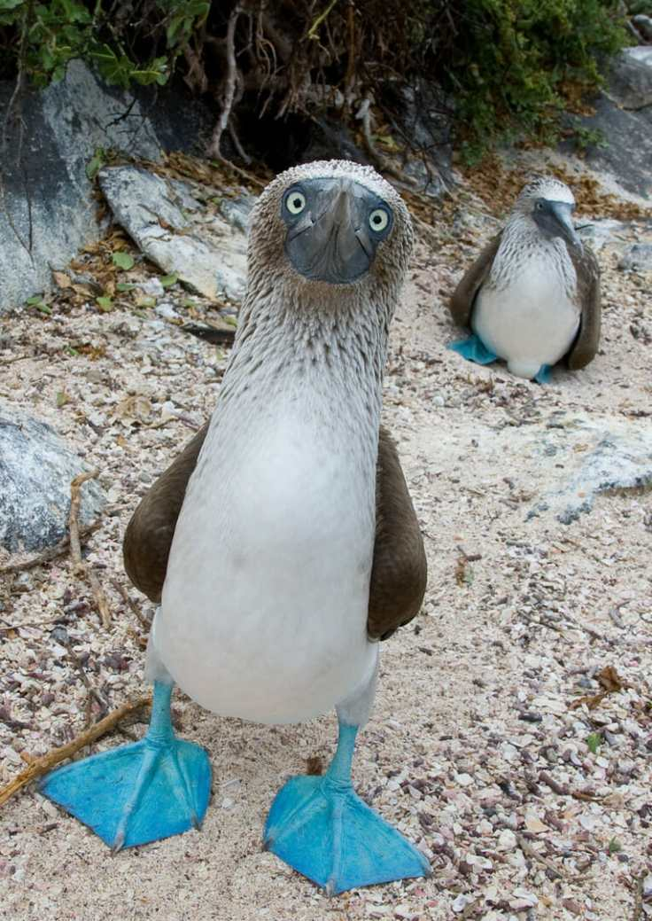 The blue footed Boobie