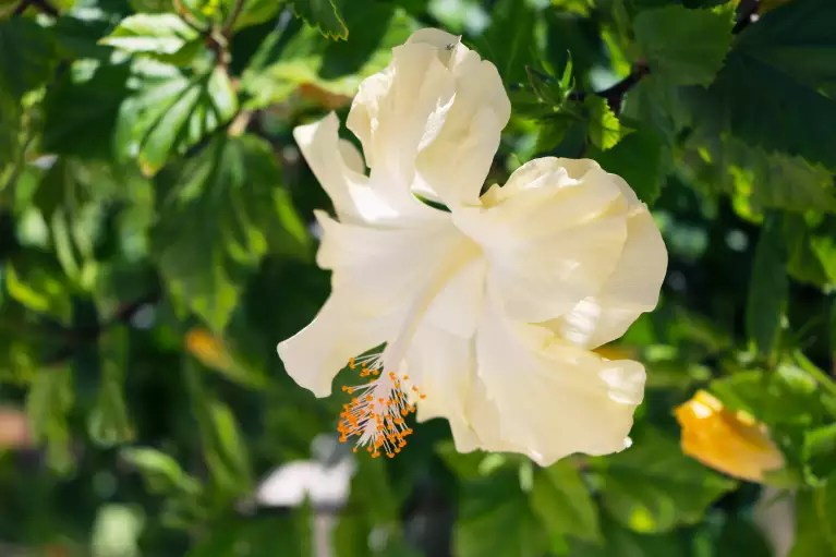 Hibiscus Flower  Growing  Colors  Care   mindbodygreen Photo   ClaraNila