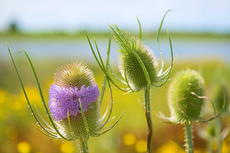wild teasel root Dipsacus sylvestris health benefits
