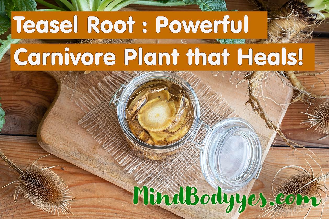 wild teasel root health benefits