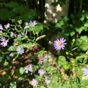 Wild purple asters