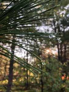 Delicate dew drops hanging from the ends up pine needles