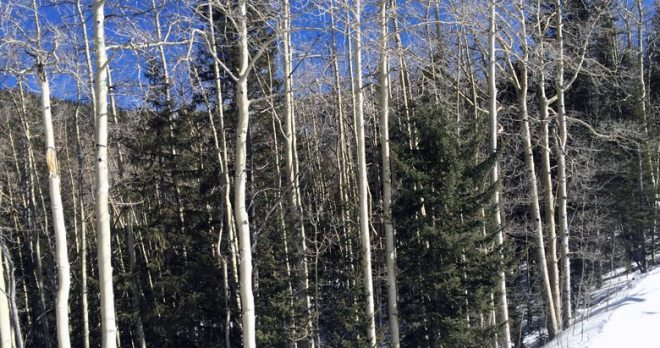 Aspens and evergreens intermingled on the side of a ski slope.
