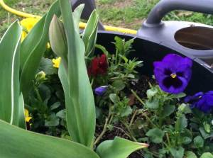 Purple pansies and tulips in a barrel with a watering can in the background.