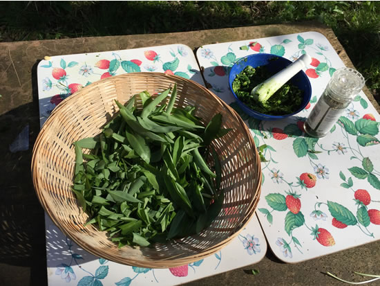 wild garlic leaves in basket