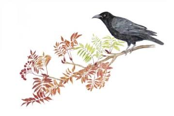 Crow Kraai by Paula Kuitenbrouwer