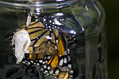 Monarch in Jar
