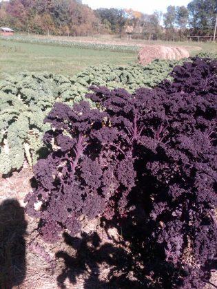 kale at CSA farm www.mindfulmomma.com