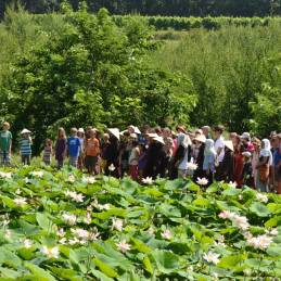 silent walk, lotuses