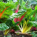 Rainbow Chard - Seeing with Child Eyes