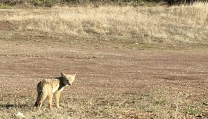 A coyote