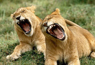 lionsyawning.jpg