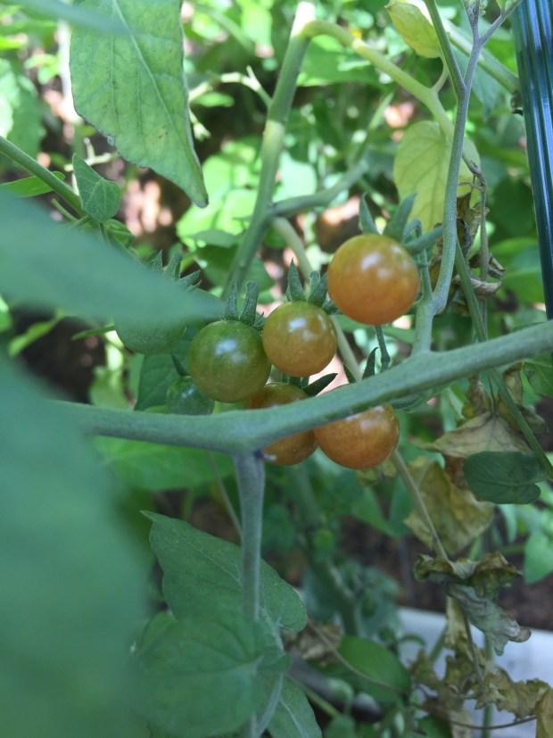陳蔓蕾精神科女醫生日常生活 - 栽種珍珠蕃茄4
