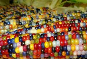 Coloured kernels of corn on a cob