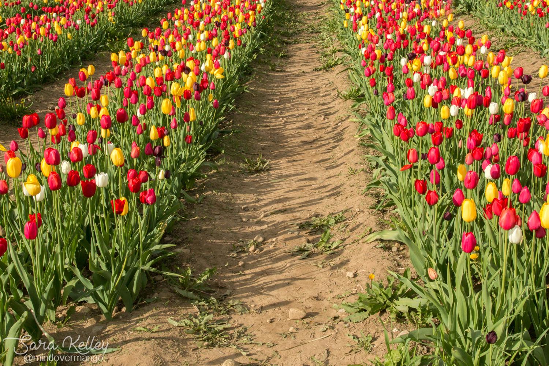 Wicked Tulip Flower Farm Rhode Island