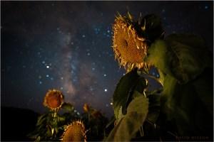 Aging sunflowers illuminated beneath the starry night sky.
