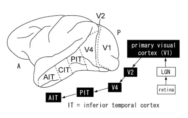 Figure 2: Information processing of the visual system. Image adapted from Yasuda et al., 2010.
