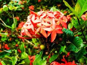 Rangan Flower - The Bengali common name of this flower is RANGAN. Other common names are Ixora, Jungle geranium, Rugmini(Hindi), Vedchi (Tamil),Chethi (Malayalam); Botanical name: Ixora coccinea Family: Rubiaceae (coffee family)