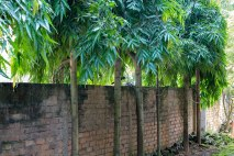 Devdaru trees lining our Boundary wall - I sighted a Halika