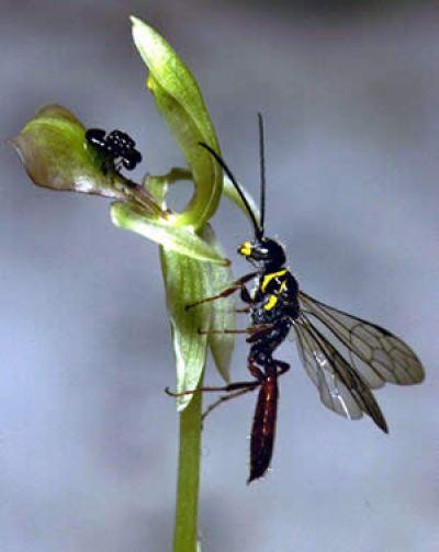 Орхидея, опыляемая осой