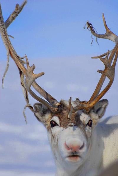 Олень из арктического региона Норвегии