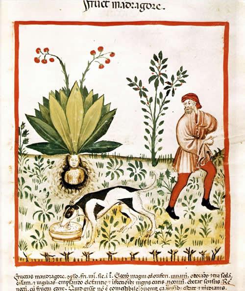 Tacuinum Sanitatis Mandrake