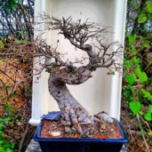 My freshly trimmed, defoliated and naked chinese elm bonsai