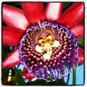 Passion fruit flower.