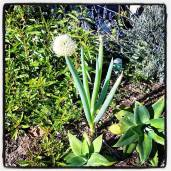 Mystery onion?